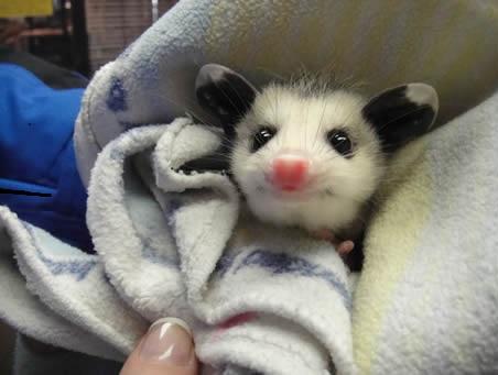 opossum-pic2